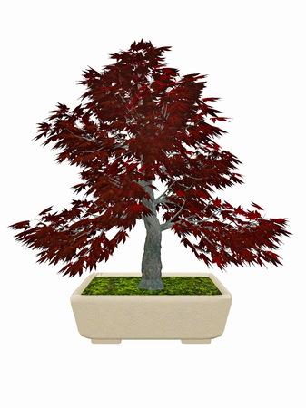 japenese: Japenese maple, acer palmatum, tree bonsai isolated in white background - 3D render Stock Photo