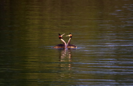crested duck: Crested grebe ducks, podiceps cristatus, courtship in the middle of the water