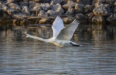 mute: Mute swan, cygnus olor, flying on water Stock Photo