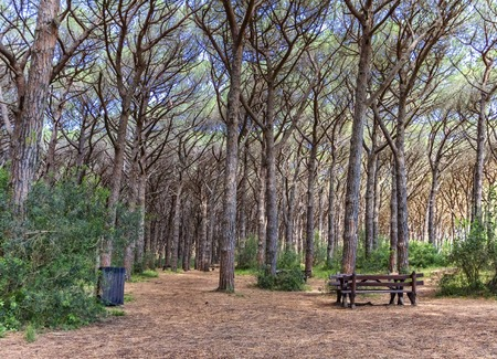 pinewood: Bench in a pinewood forest, Cecina in Tuscany, Italy Stock Photo