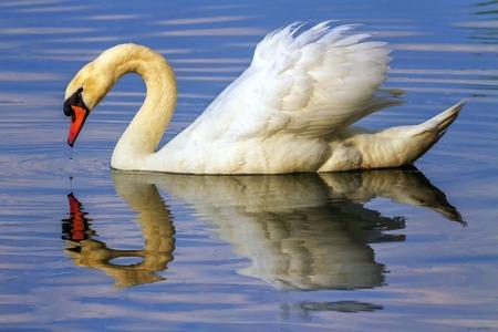 reflexion: cisne mudo, olor del Cygnus, flotando en el agua con su reflexi�n en ella