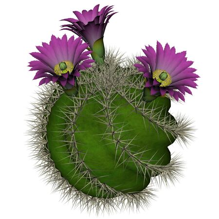 prickly: Spherical cactus with violet flowers isolated in white background - 3D render Stock Photo