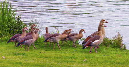 alopochen: Egyptian goose, alopochen aegyptiacus,and babies walking on the grass near the water