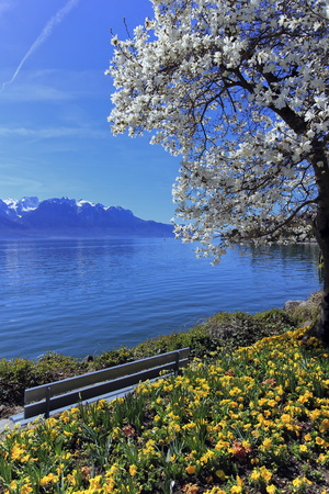 leman: Yellow flowers and blooming tree during springtime at Geneva or Leman lake, Montreux, Switzerland Stock Photo