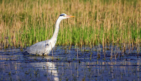 gray herons: Grey heron, ardea cinerea, walking in a pond looking for food Stock Photo
