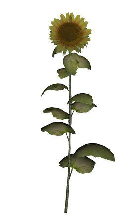 Old golden sunflower - 3D render