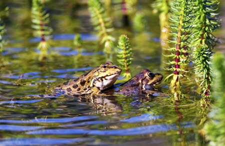 Frog mating in a pond