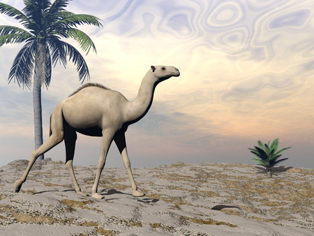 Camel walking - 3D render