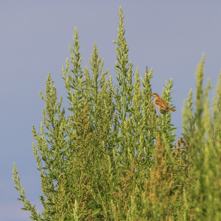 Female sparrow on a bush