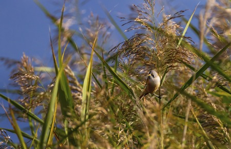 Bearded reedling, panurus biarmicus, in the reeds