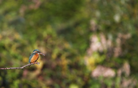 Eurasian, river or common kingfisher, alcedo atthis, Neuchatel, Switzerland 版權商用圖片