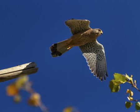 Europäischer, eurasischer, gewöhnlicher oder alter Welt-Turmfalken, Falco Tinnunculus Standard-Bild - 87954689