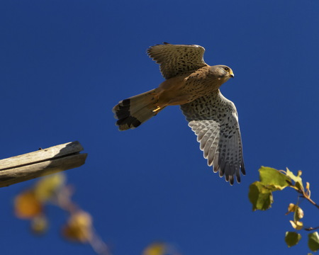 European, eurasian, common or old world kestrel, falco tinnunculus