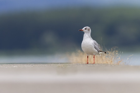 Black-headed gull, chroicocephalus ridibundus, on the ground