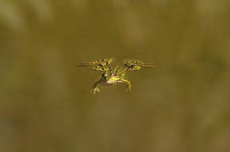 Frosch alleine schwimmen Standard-Bild - 88936821