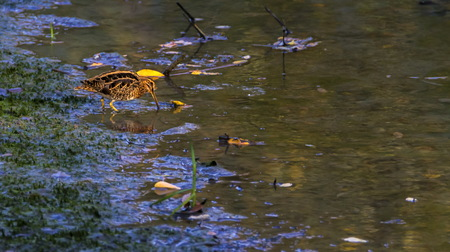 Common snipe, gallinago gallinago, Geneva, Switzerland Stock Photo