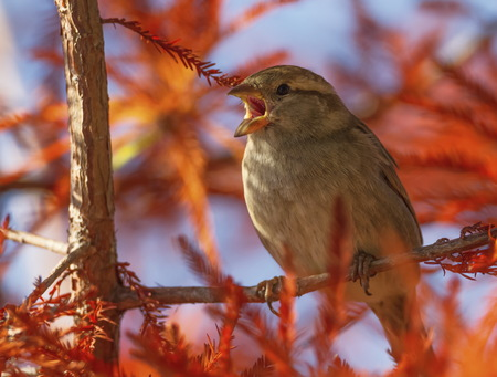 Female sparrow singing, Montreux, Switzerland