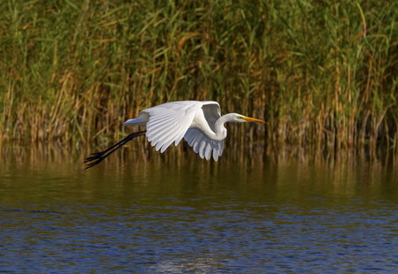 Great egret, ardea alba, flying, Neuchatel lake, Switzerland Stock Photo