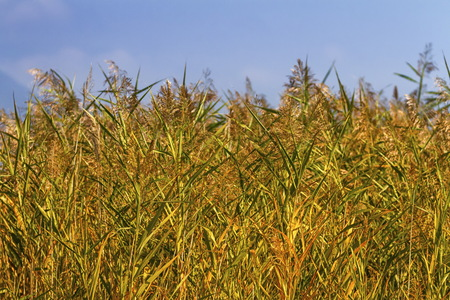 Reeds field background Stock Photo