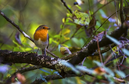 European robin, erithacus rubecula, redbreast, Geneva, Switzerland Stock Photo