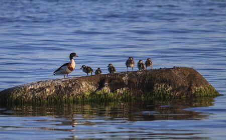 Common shelduck, Tadorna tadorna, and ducklings, Telleborg, Sweden Stock fotó - 129723001