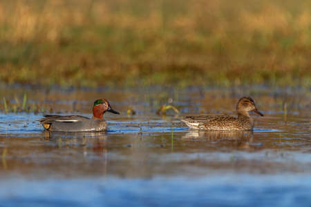 Couple of eurasian teals or common teals, anas crecca, ducks Banque d'images - 159664481