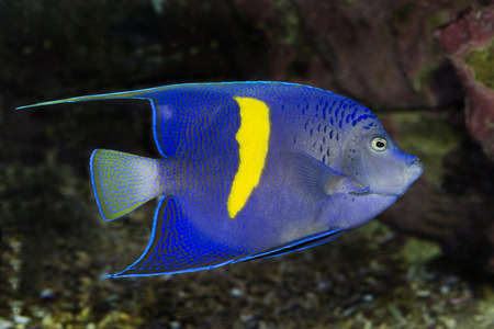 pomacanthus: Arabian Angelfish (Pomacanthus asfur) Stock Photo
