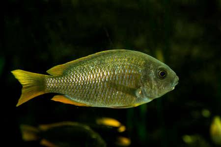cichlid: Scrapermouth mbuna (Labeotropheus trewavasae). Stock Photo