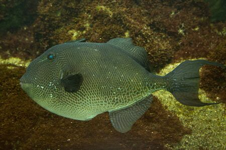 triggerfish: Grey triggerfish (Balistes capriscus). Stock Photo