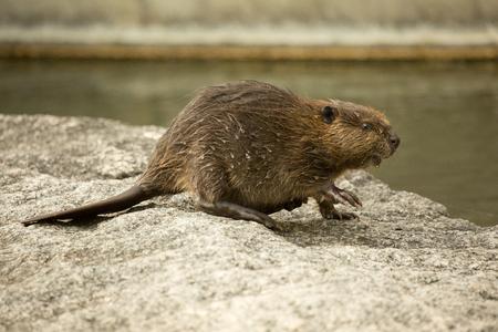 Eurasian beaver (Castor fiber).