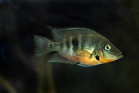Firemouth cichlid (Thorichthys meeki). Stock Photo