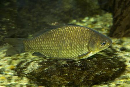 carassius auratus: Prussian carp (Carassius gibelio). Stock Photo