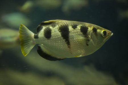 indopacific: Banded archerfish (Toxotes jaculatrix). Stock Photo