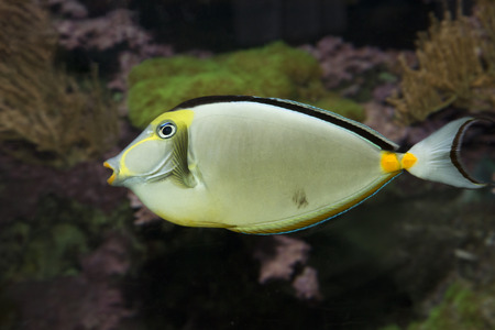 Naso Tang fish. (Naso lituratus). Stock Photo