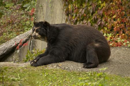 Spectacled bear (Tremarctos ornatus).