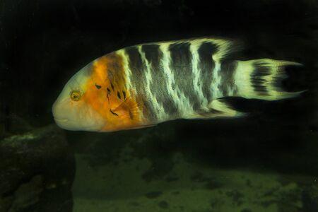 cheilinus: Red-breasted wrasse (Cheilinus fasciatus).