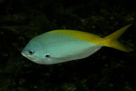 Yellowtail Fusilier (Caesio cuning). 스톡 콘텐츠