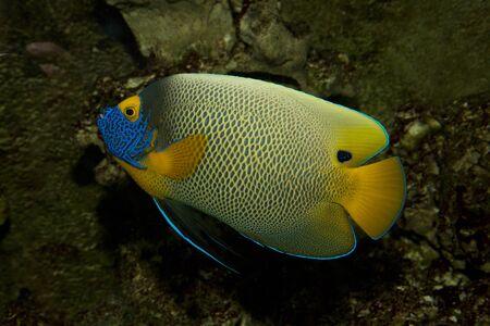 pomacanthus: Yellowface angelfish (Pomacanthus xanthometopon). Stock Photo
