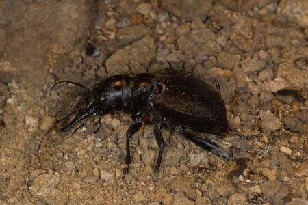 Tiger beetle (Manticora scabra).