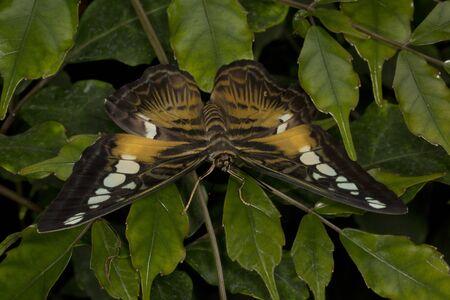 Brown Clipper butterfly (Parthenos sylvia). Stock Photo