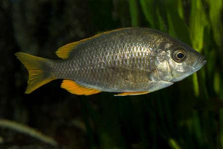 Scrapermouth mbuna (Labeotropheus trewavasae). Stock Photo