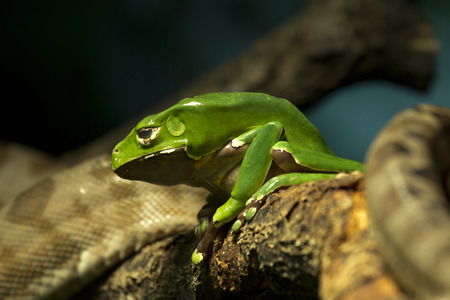 Giant monkey tree frog (Phyllomedusa bicolor). Stock fotó