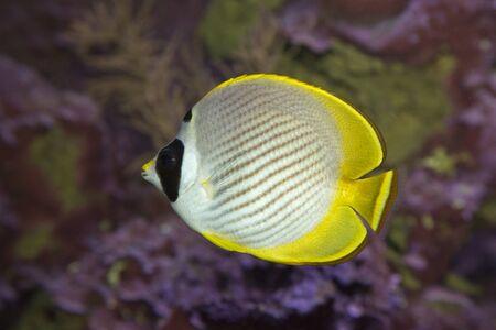 Schooling Eye-patch Butterflyfish (Chaetodon adiergastos).