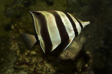 Eastern talma,  truncate coralfish  (Chelmonops truncatus ).