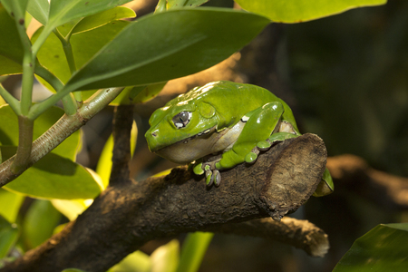 Giant monkey tree frog (Phyllomedusa bicolor). Stock Photo