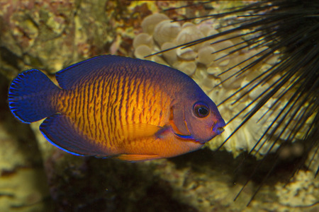 The twospined angelfish, dusky angelfish, or coral beauty (Centropyge bispinosa).