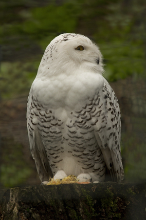 Snowy owl ( Bubo scandiacus, Nyctea scandiaca).