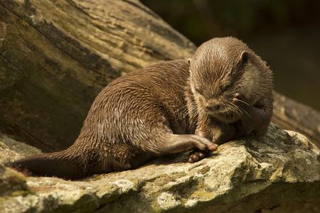 Asian small-clawed otter (Aonyx cinerea syn. Amblonyx cinereus). 版權商用圖片