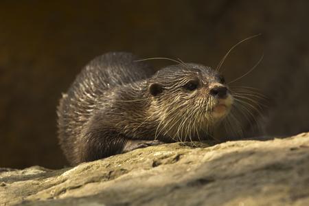 Asian small-clawed otter (Aonyx cinerea syn. Amblonyx cinereus).