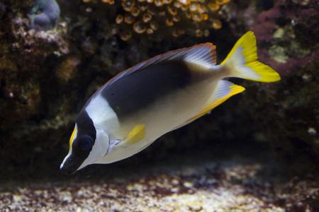 Magnificent Rabbitfish  (Siganus magnificus).